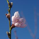 Peach blossom and Australian blue sky by yeuxdechat