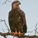Immature Bald Eagle by Gary Lengyel