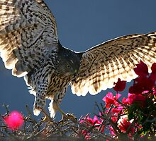 Cooper's Hawk Hunting In Bougainvillea by DARRIN ALDRIDGE