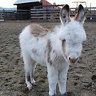 Six-week old Donkey by Marjorie Wallace
