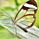 Glasswing  by PAPILON