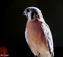 American Kestrel by Loree McComb