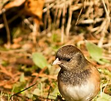 Dark Eyed Junco ~ Oregon Race by TeresaB