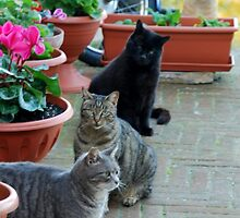 Well-fed Italian Street Cats-Amelia-Umbria by Deborah Downes