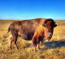 Bison roaming the Badlands in South Dakota by David Owens