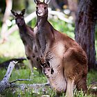 Kangaroo Mother and Joey by Paul Fulwood