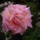 Pink Rose by Rimma Tverskoy