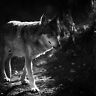 Mexican Grey Wolf by KatsEyePhoto