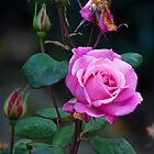 Pink Rose by Jari Vipele