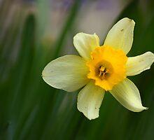 Daffodil by anca-m