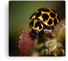 Ladybird looking for love Canvas Print