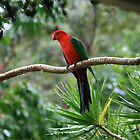 King Parrot during the Rain by aussiebushstick