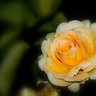 Yellow Rose 2 by Angela Pritchard