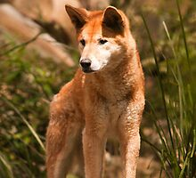 Australian Dingo by Gerard Rotse