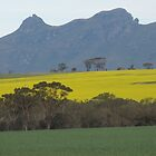Canola in flower by Fitchat