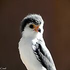 African Pygmy Falcon by Loree McComb
