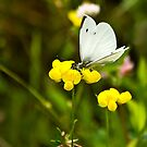 Pieridae Small Cabbage White by Kathy Weaver