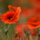 Poppies in the wind... by Sarah Weston