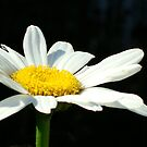Darling Daisy by Sharon Woerner