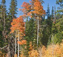 Aspen in Idaho - 3 by Forrest  Ray
