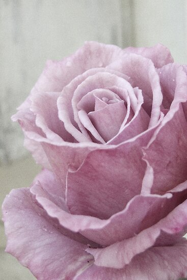The Fading Rose by Penelope Thomas
