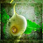 Arum lily. by Lynne Haselden