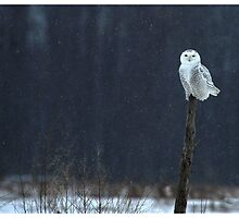 Owls in Canada! by Raymond J Barlow