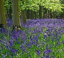 Beautiful Bluebell Morning by lucylongface