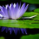 water lily, water level with reflection by Gerry Daniel