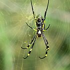 Golden  orbweb spider by jozi1