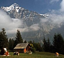 Cow Relaxing near Grindelwald, Switzerland by David J Dionne