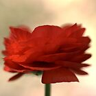 Ranuncalus Red by Joy Watson