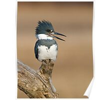 Perched Kingfisher - Stoney Creek Ontario, Canada Poster