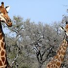 Inquisitive Giraffes - Giraffa Camelpardalis by Margaret  Hyde