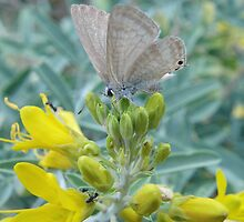 Wattle Blue Butterfly (Theclinesthes miskini) - Adelaide, Australia by Dan & Emma Monceaux