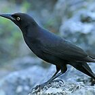 Greater Antillian Grackle by Robert Abraham