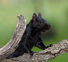 Black Squirrel On Green by Gary Fairhead