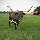 The Texas Long Horn Bull  by venny