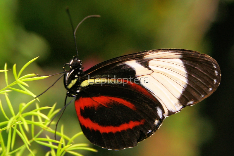 Cydno Longwing - Heliconius cydno by Lepidoptera