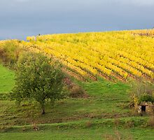 Glow of Fall Vines, Quessac Les Vignes by A.M. Ruttle