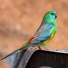 Mr Red-rumped Parrot by Kerryn Ryan, Mosaic Avenues