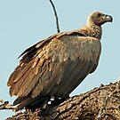 Whitebacked vulture by jozi1