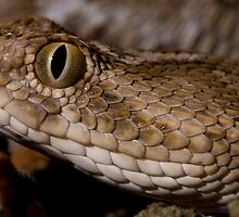 Saw scaled viper headshot by AngiNelson