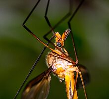The Vamp - Crane Fly by john  Lenagan