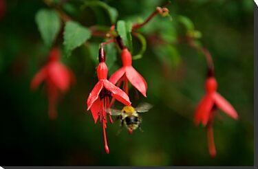 Fuchsia at Loch Na Fooey (wide) by George Row