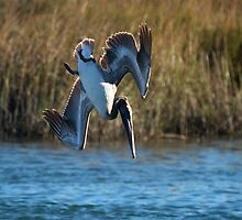 Pelican Makes the Big Dive by imagetj