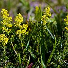 Galium Verum (Ladys Bedstraw), Inishmore, Aran Islands by George Row