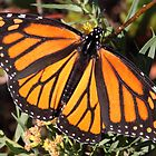 Monarch butterfly in Westport by Daphne Gonzalvez