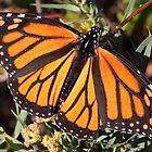 Monarch butterfly in Westport by Daphne Gonzalvez