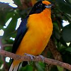 Violaceous Euphonia (Male) True Finch Family by Bonnie Robert